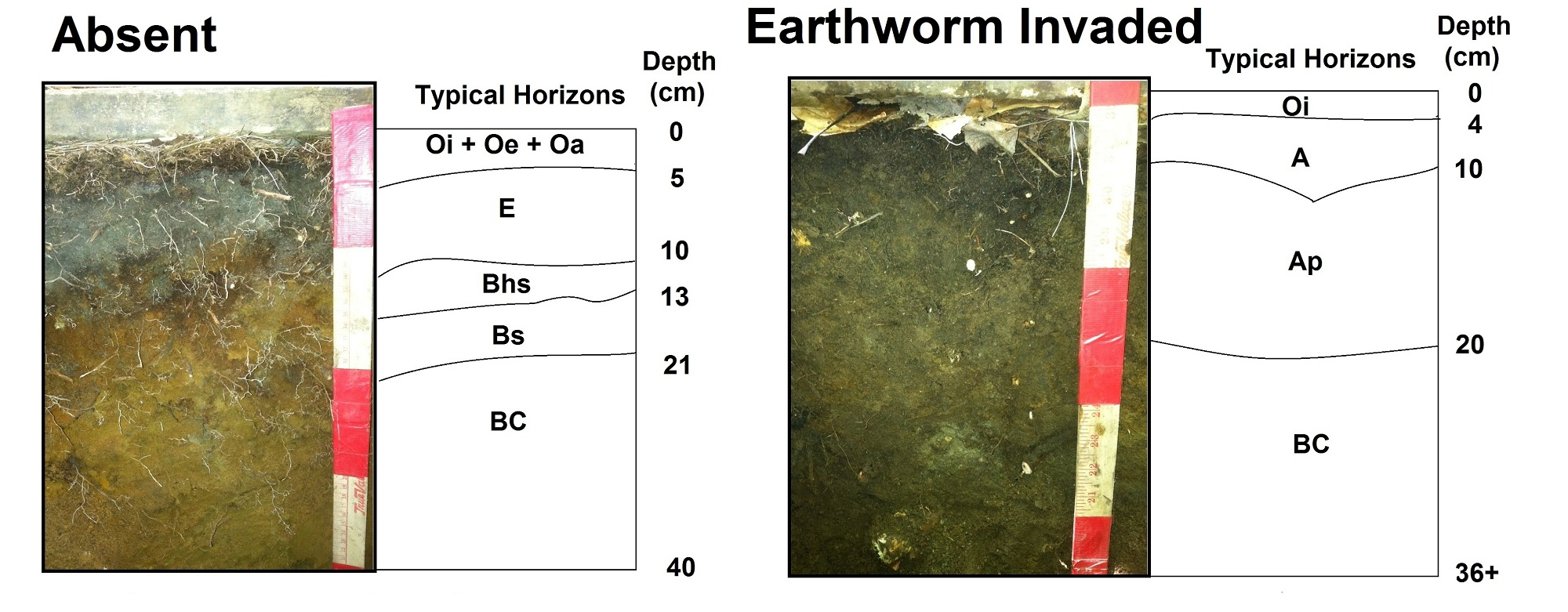 Soil morphology of earthworm invaded soils